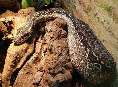 Boa Constrictor - Foto: wikipedia