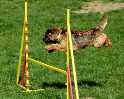 border-terrier-3