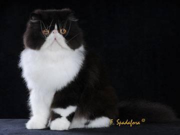 persiano-bicolore2
