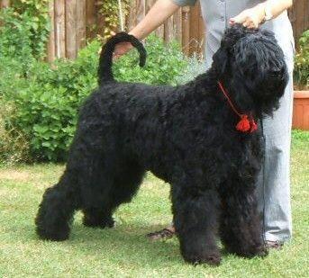terrier-nero-russo