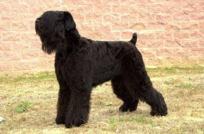terrier-russo