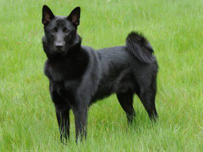 Il Norsk Elghund Scheda Completa Di Questa Razza Canina
