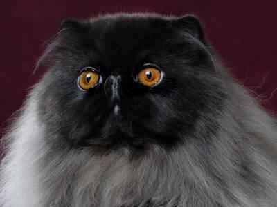 Il Persiano Nero Scheda Completa Di Questa Razza Felina Rara