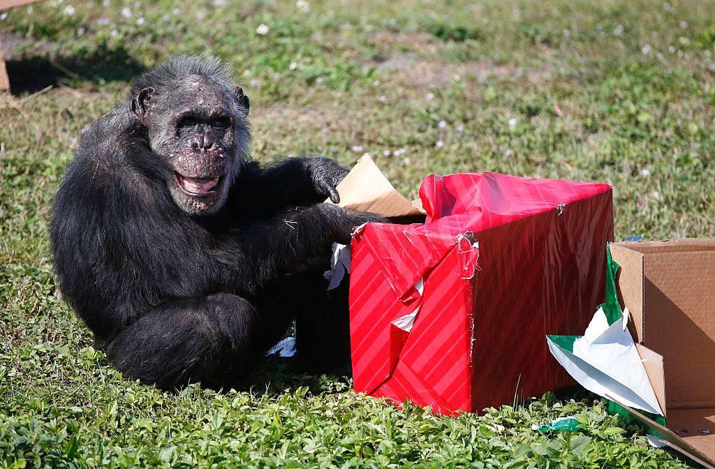 Scimpanzé ©Getty