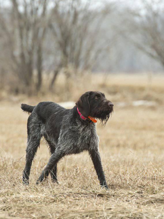 cane da ferma boemo pelo ruvido
