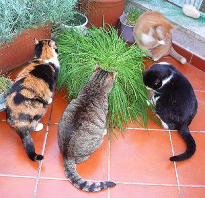 L 39 erba gatto scopriamo i benefici di questa pianta for Erba gatta effetti