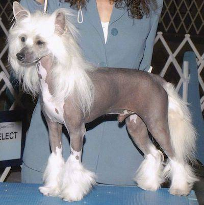 Westminster Dog Show Chinese Crested