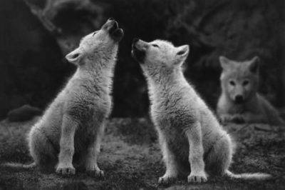caccia lupo
