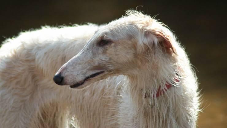 razze cani abbaiano di meno o poco borzoi