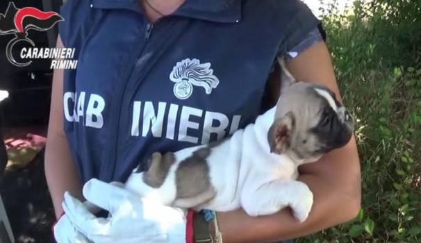 Rimini, sgominato traffico clandestino di cuccioli