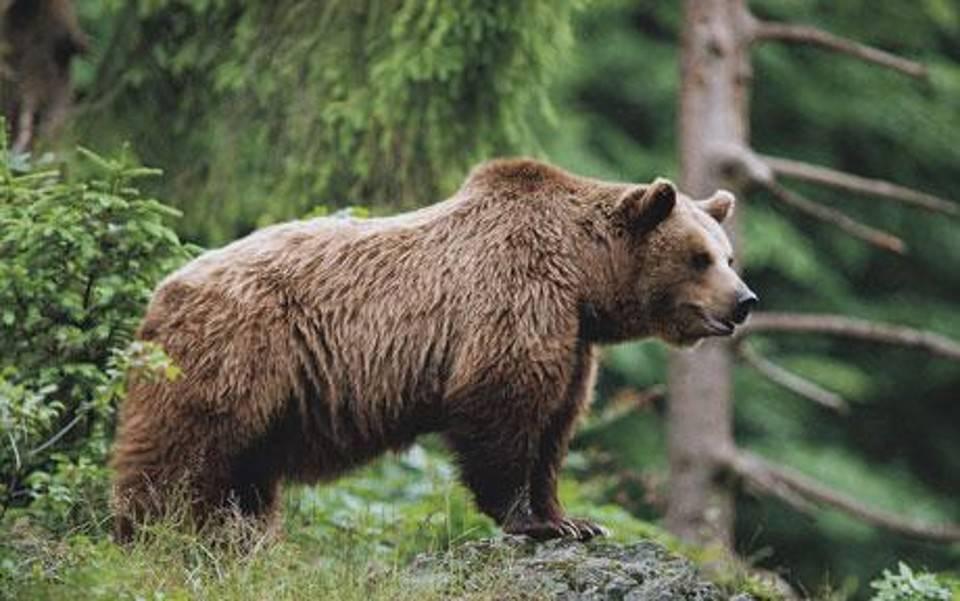 orso ucciso