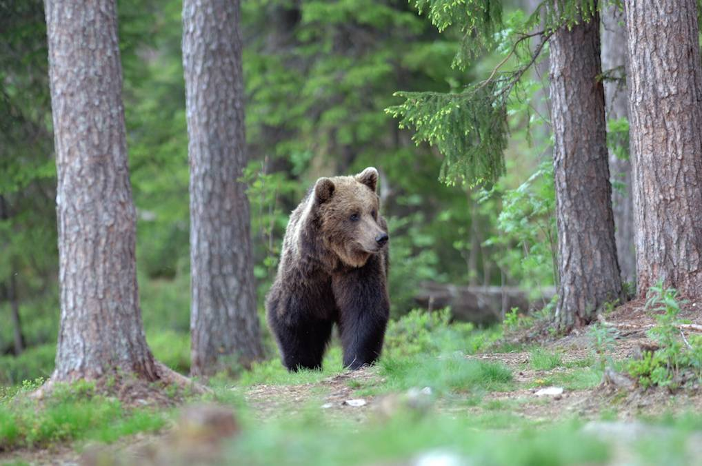 Orso Grizzly specie protetta a Yellowstone