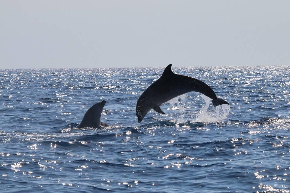 delfini inglese