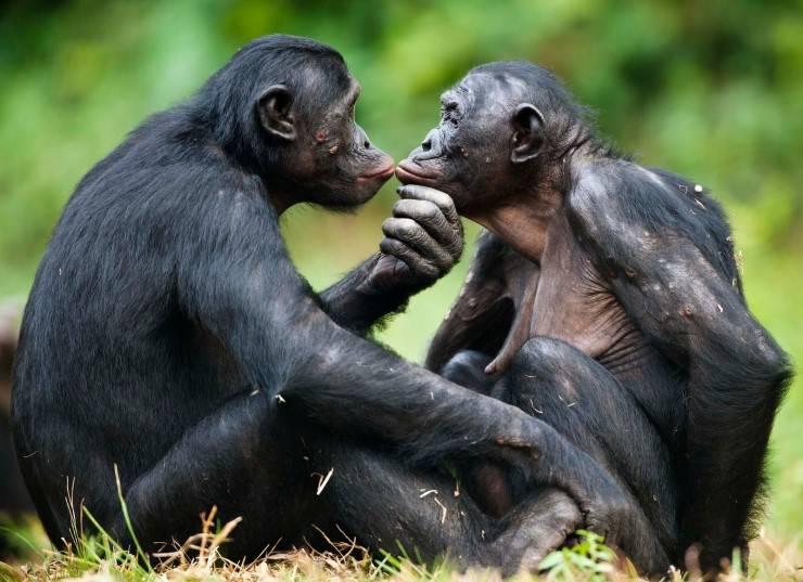 scimmie amore