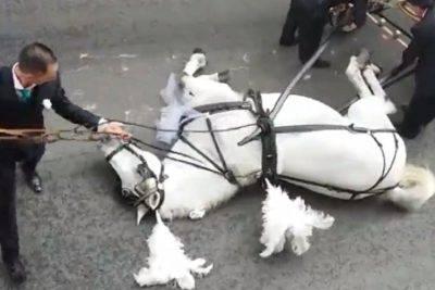 Il cavallo bianco degli sposi stramazza a terra IL VIDEO