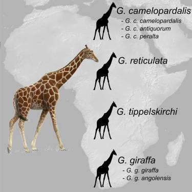 nuove specie di giraffe