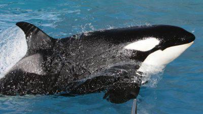 orca prigioniera