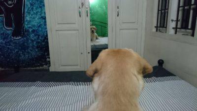 cani allo specchio