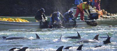 delfini catturati