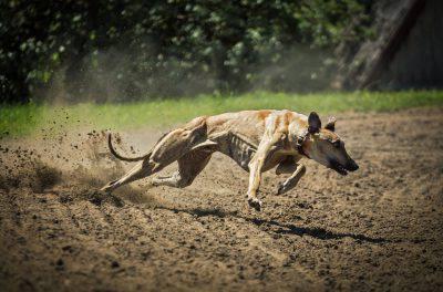 levriere greyhound