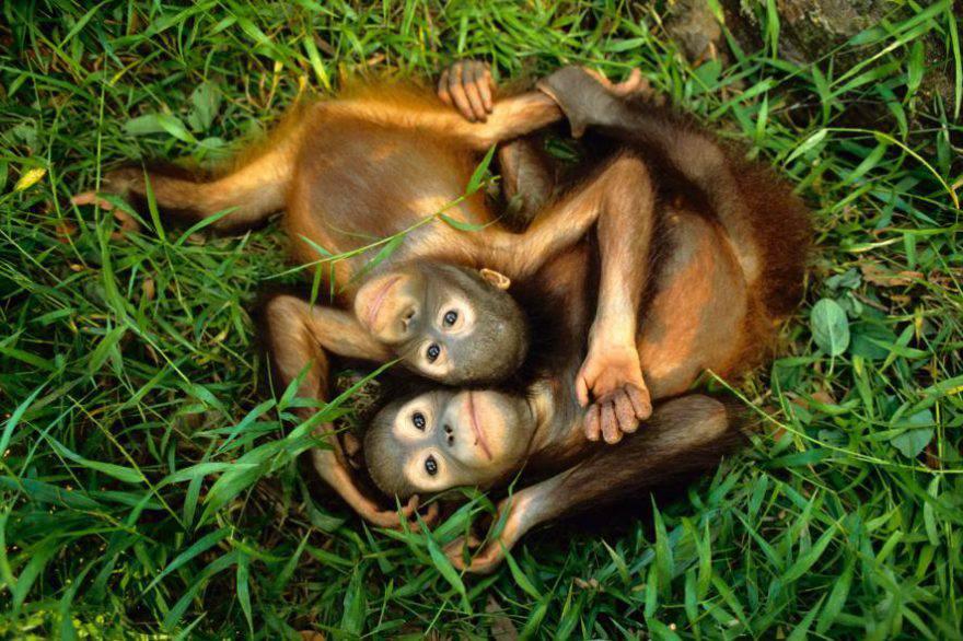 cuccioli orangutan