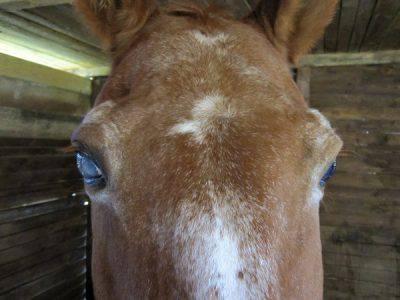 la scabbia nel cavallo