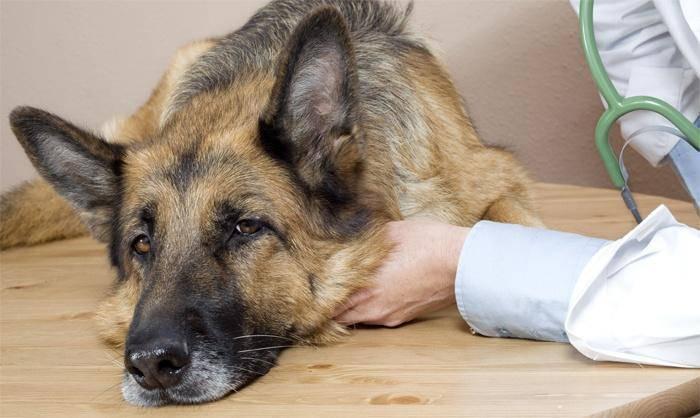 la tosse nel cane