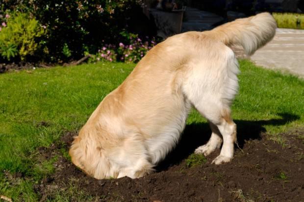 cane scava buca