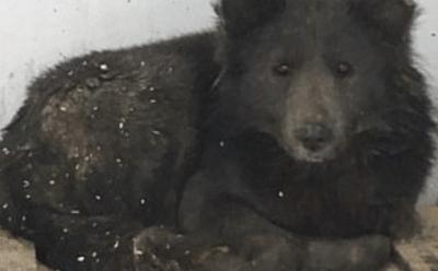 cane che sembra un orso