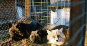 allevamenti da pellicce