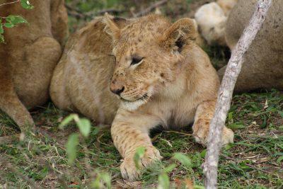 Nove cuccioli di leone uccisi in uno zoo svedese perché