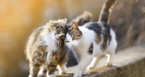 comportamento sessuale del gatto