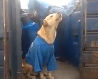 cane lavoratore