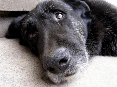 carattere cane anziano