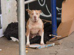pitbull senzatetto