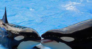 orca parlante