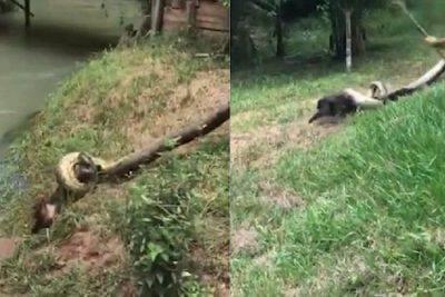 brasile cane anaconda