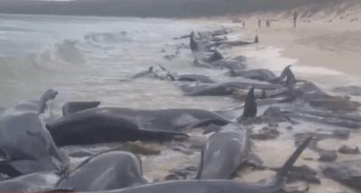 balene spiaggiate