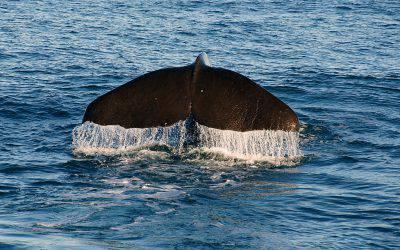 pesca alle balene