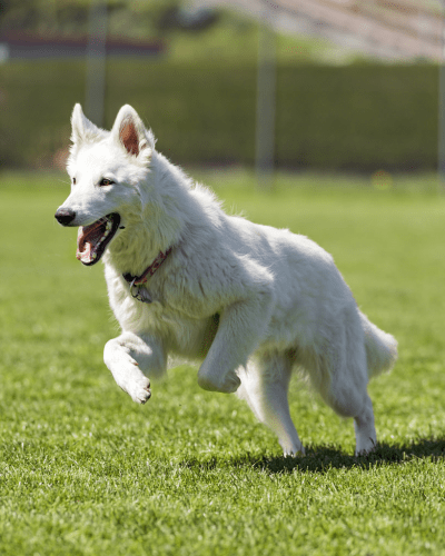 razze cani bianchi