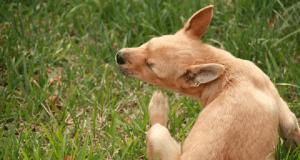 parassiti dei cani
