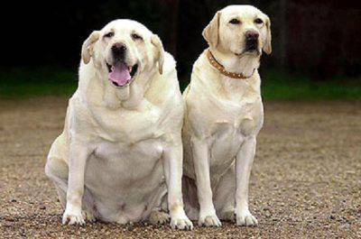 cani obesi