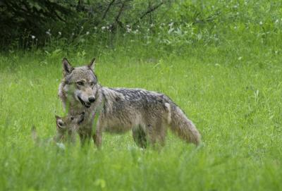 allarme lupi