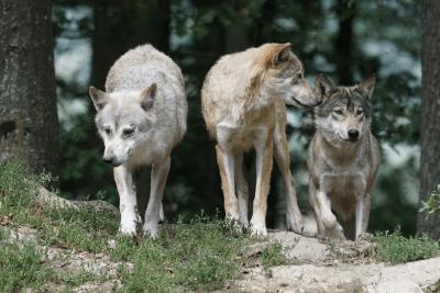 ibridi cane lupo