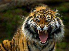 tigre sbrana uomo