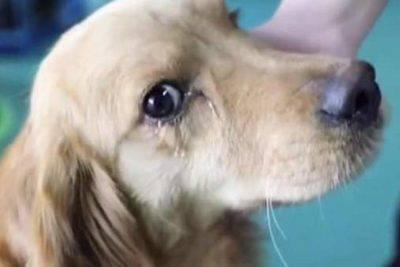 lacrime cane