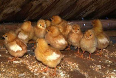 polli allevamenti