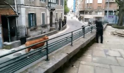 mucca scappa da macello