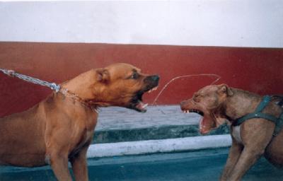 cane combattimento