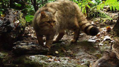 Gatto Selvatico Europeo Avvistato Esemplare In Trentino Foto